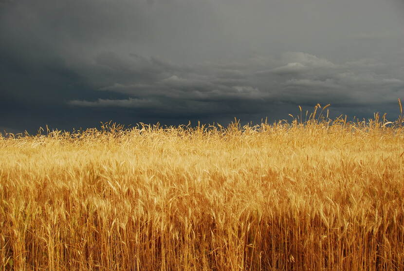 Storm is gathering over a wheat field