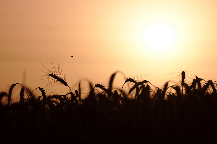 Wheat ears and a bee can be seen against the backdrop of the setting sun.