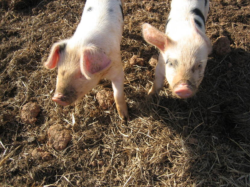 A pair of piglets in a pigstead