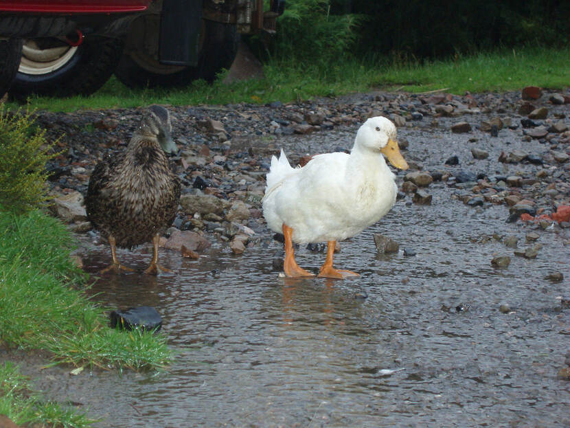 Two ducks walking