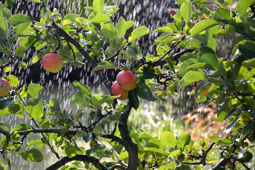 An apple tree being watered