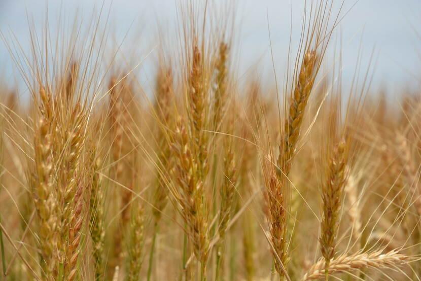 Golden ears of wheat.