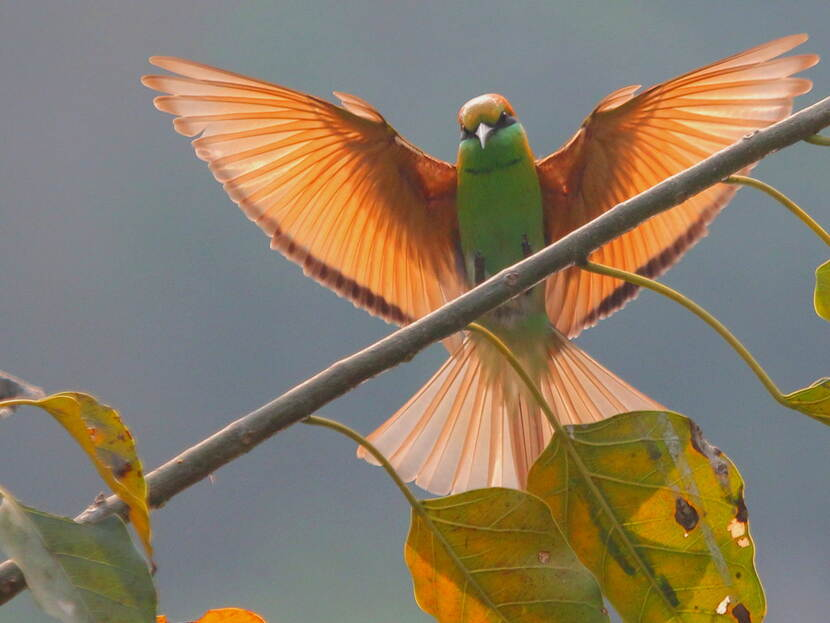 A bee-eater can be seen, wings spread, mid-flight