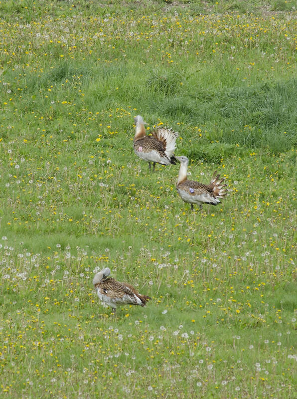A group of three great bustards are seen wandering on a spring meadow