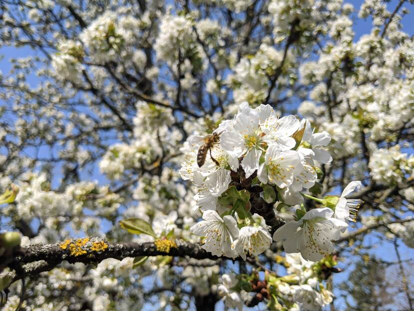 A bee is seen flying over a branch laden with blossoming flowers