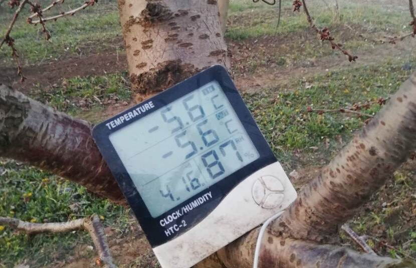 A digital thermometer placed on a fruit tree in an orchard shows the temperature in the morning, -5.6°C