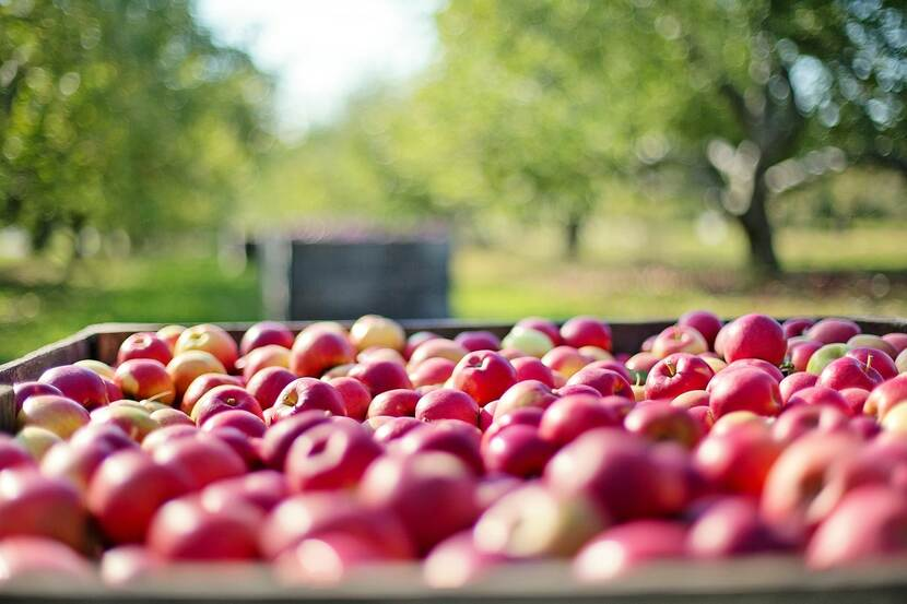 A cart packed with freshly harvested apples is placed between apple trees in an orchard.