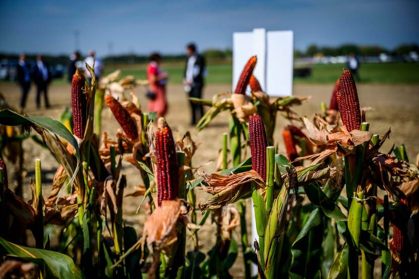 Ears of corn put on display at the Bábolna Farmers' Days expo in Hungary
