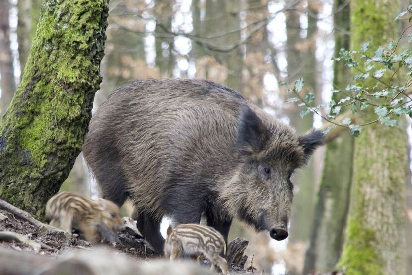 A wild boar family in a forest.