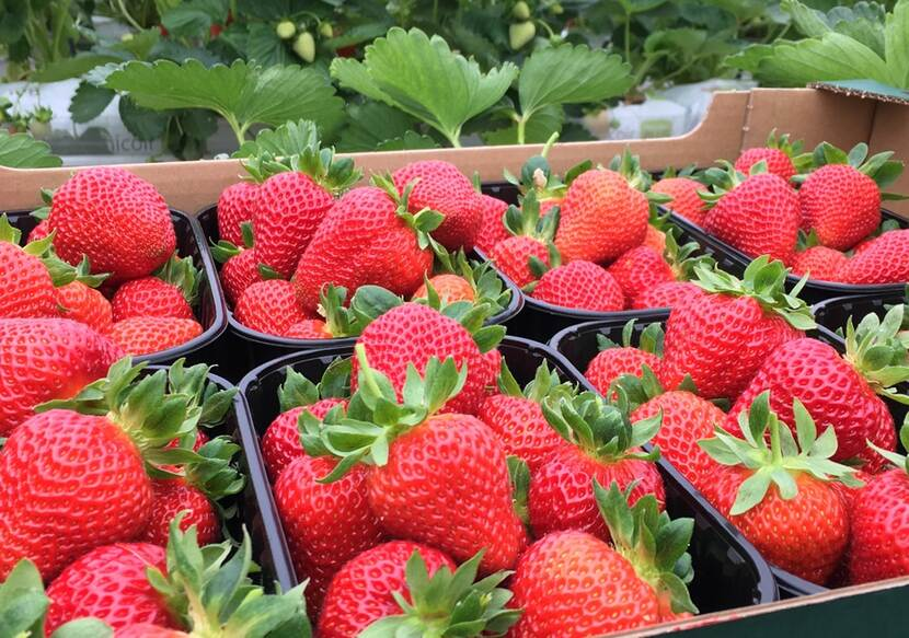fresh harvested strawberries