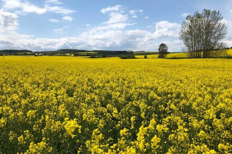 rapeseed field in bloom with a tree and a blue sky
