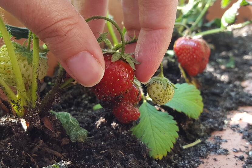 fingers picking up a strawberry