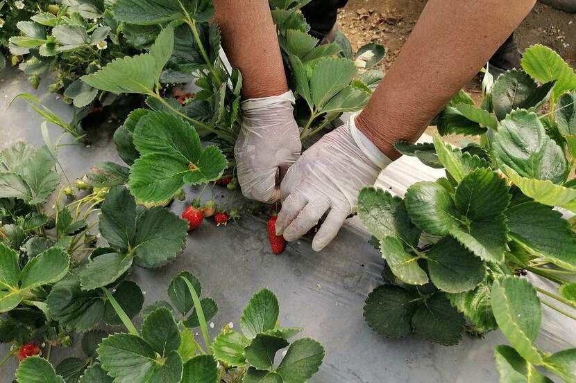 A farmer carefully handles strawberries with gloved hands.