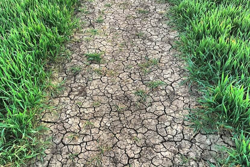 A field with growing crop is visible, the soil is cracked and dry because of a drought.