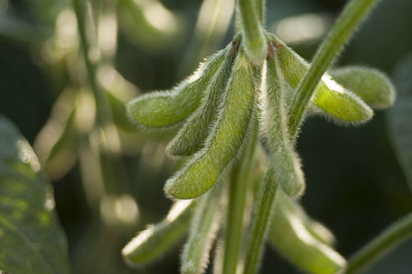 Close up photo of soybeans ripening on the plant