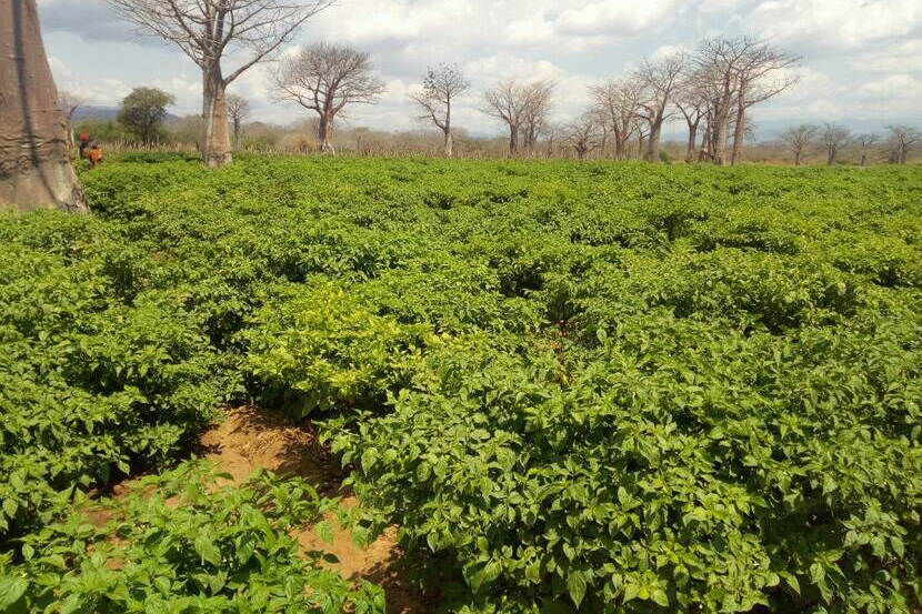 An irrigated pepper farm in Ruaha Tanzania