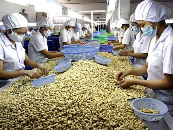 Worker process cashew nuts for export