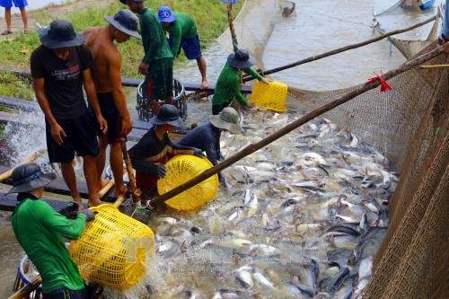 Farmers harvest tra fish in Can Tho city, Mekong Delta