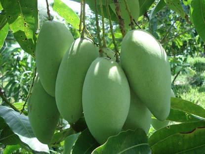 Vietnamese mangos '' Hoa Loc''